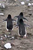 企鹅高视阔步 免版税库存图片