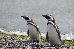企鹅麦哲伦 免版税库存图片