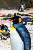 企鹅,您看我? 免版税库存照片