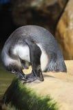 企鹅画象在开普敦 库存图片