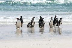 企鹅-麦哲伦和Gentoo在海滩 库存照片