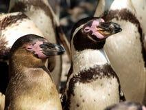 企鹅 免版税图库摄影