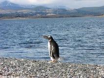 企鹅- Isla Martillo,乌斯怀亚 库存图片
