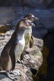 年轻企鹅` s 库存图片