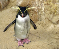 企鹅rockhopper 库存图片