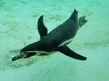 企鹅Zsl伦敦动物园 免版税库存照片