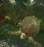 巴伊亚巴西coroa海岛海龟vermelha 库存图片