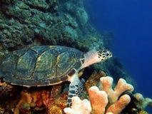 巴伊亚巴西coroa海岛海龟vermelha 免版税库存图片