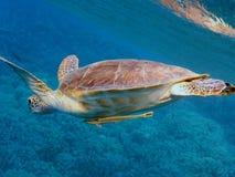 巴伊亚巴西coroa海岛海龟vermelha 库存照片