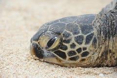 巴伊亚巴西coroa海岛海龟vermelha 免版税图库摄影