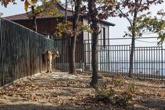 伊兰羚羊在动物园博尔里 免版税库存照片