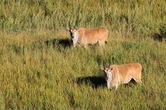 伊兰羚羊在草原 免版税库存照片