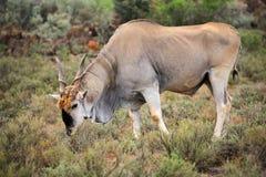 伊兰羚羊 免版税库存照片