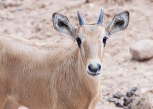 伊兰antelop崽在动物园里 图库摄影