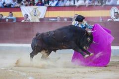伊冯与与海角在bullrin的Fandiño一头勇敢的公牛战斗 免版税库存照片