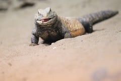 伊拉克人多刺被盯梢的蜥蜴 免版税库存图片