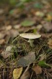 伊斯坦布尔, Belgrad森林,生长蘑菇的特写镜头户外 库存照片