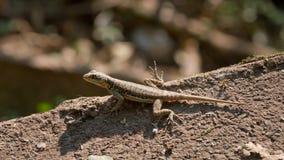 伊瓜苏瀑布蜥蜴 库存图片