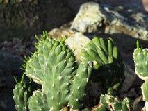伊芙` s针仙人掌或Austrocylindropuntia Subulata 库存照片