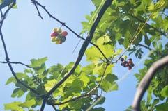 伊莎贝尔葡萄树果子 图库摄影