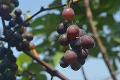 伊莎贝尔葡萄树果子 免版税库存照片