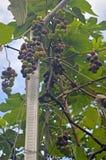 伊莎贝尔葡萄树果子 库存照片