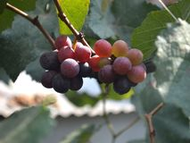 伊莎贝尔葡萄树果子 免版税库存图片