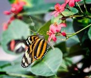 伊莎贝拉老虎蝴蝶 库存照片