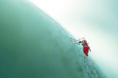 伊蚊属aegypti入人的皮肤,软的focu的蚊子咬住/吮 免版税库存照片