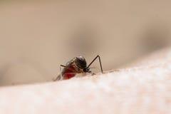 伊蚊属aegypti蚊子 库存照片