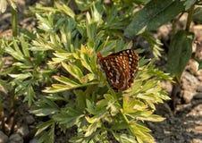 伊迪丝` s Checkerspot蝴蝶,瑞尼尔山国家公园,华盛顿 库存照片