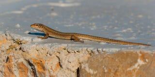 伊维萨岛晒黑的墙壁蜥蜴在近一个被绘的岩石支持,伊维萨岛,巴利阿里群岛,西班牙 免版税库存照片