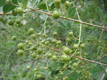 伍迪五谷种子在圆一个期间是绿色的 免版税库存图片
