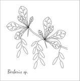 伏牛花、果子和叶子的分支的黑白剪影 库存图片