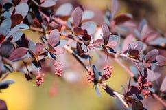 伏牛花伏牛花、分支与芽的和明亮的紫色在色的背景Berberys Thunberga,小蘖属图恩留下特写镜头 免版税图库摄影