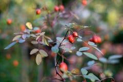 伏牛花分支用红色成熟莓果 库存图片