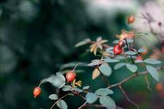 伏牛花分支用红色成熟莓果 免版税图库摄影