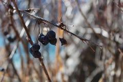 伏牛花干果子在赤裸秋天分支的 免版税库存图片