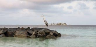 休假和寻找他的午餐的苍鹭 库存照片