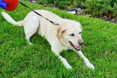 休假的一条美丽的大老白色狗 免版税库存图片