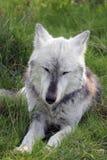 休息与眼睛的狼闭上 免版税库存照片