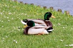 休息两只野生野鸭的鸭子在阳光下 免版税库存图片