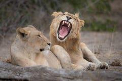 休息两头的狮子,一打呵欠 免版税库存图片
