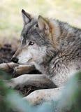 休息北美灰狼 免版税库存照片