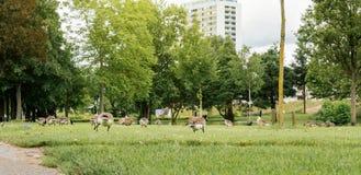 休息吃在新鲜的多只巨人加拿大鹅鹅鸟 免版税库存图片