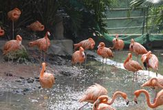 休息和喝沿湖银行的火鸟身分群在公园 他们的被倒置的反射在水中 免版税库存图片