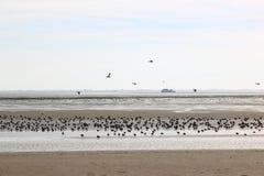 休息和搜寻鸭子在Waddenzee,阿默兰岛 免版税库存图片