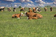 休息和放松在草甸的母牛、公牛和小牛 免版税库存照片