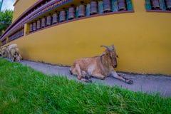 休息在一个大厅里的室外观点的许多山羊在镇在塔石难民解决在博克拉,尼泊尔,白点 免版税图库摄影