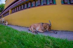 休息在一个大厅里的室外观点的许多山羊在镇在塔石难民解决在博克拉,尼泊尔,白点 库存照片